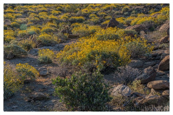 Early Morning Brittlebush
