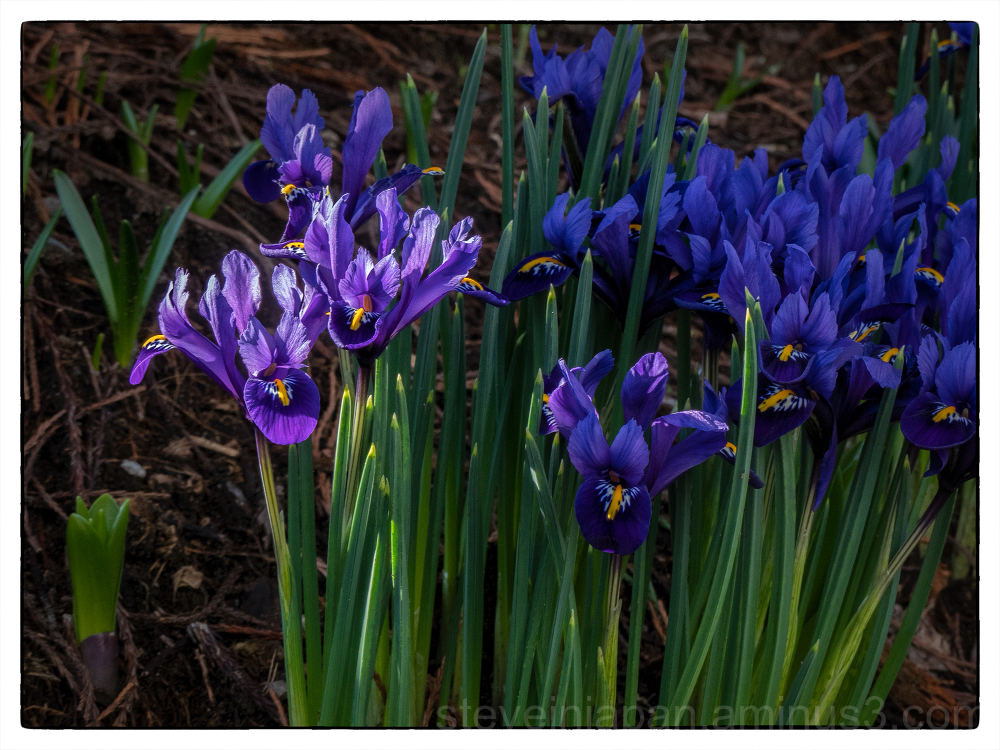 Iris in bloom in February 2018.