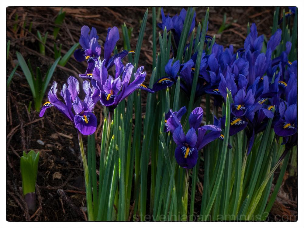 Iris in bloom in February 2018.