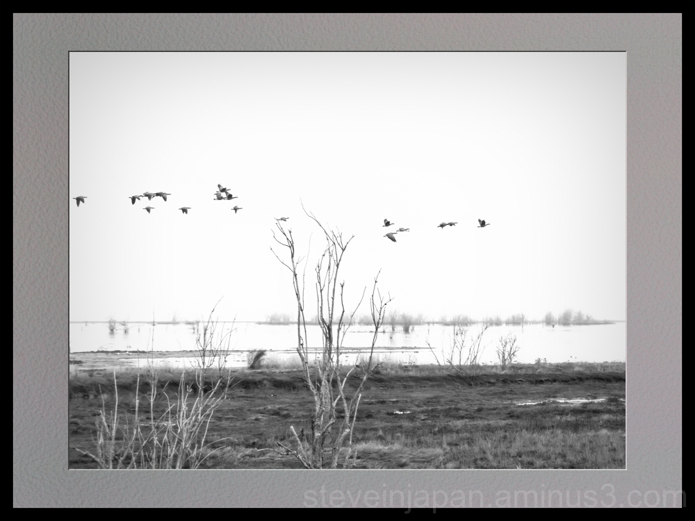 Canada geese at Nisqually Wildlife Refuge.