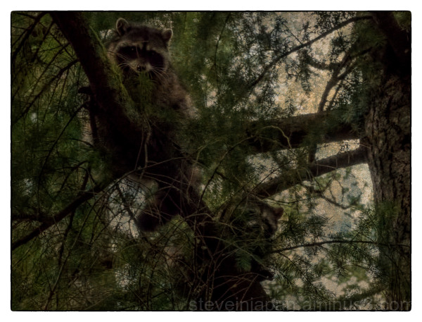Raccoons up a tree.