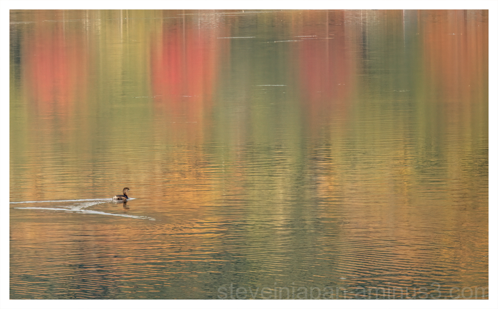 A bird swimming in reflected autumn colors.
