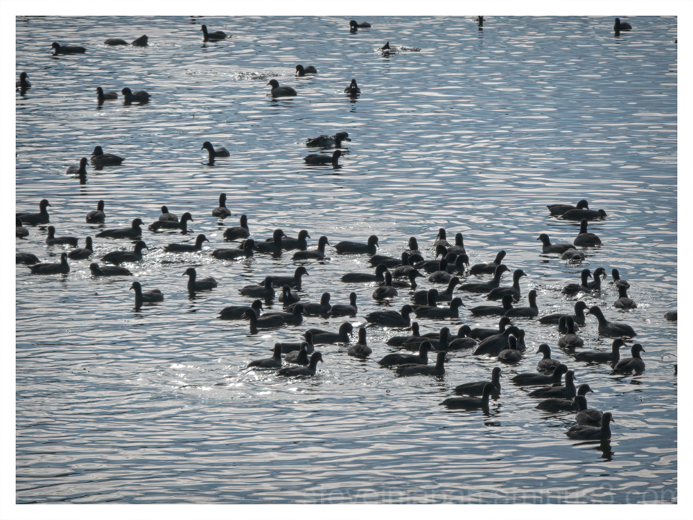 Coots on Capitol Lake in Olympia, Washington.