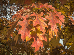 Oak leaves at Capitol Lake in Olympia, Washington.
