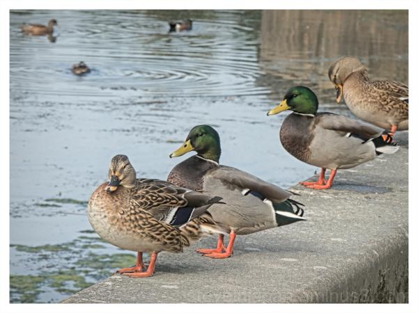 Mallards at Capitol Lake in Olympia, Washington.
