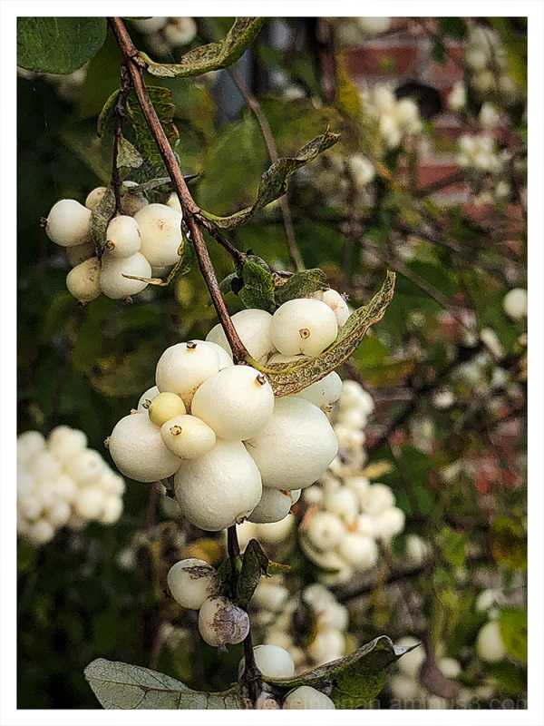 Snowberries in Olympia, Washington.