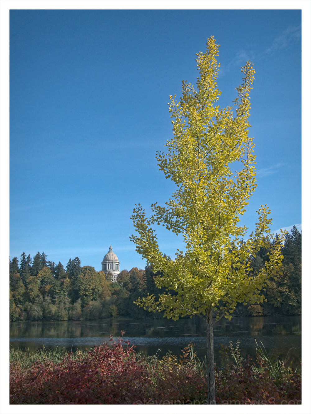 Ginkgo on Capitol Lake in Olympia, Washington.