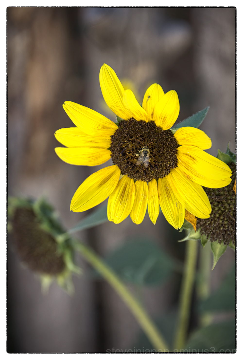 A sunflower & bee in Taos, New Mexico.