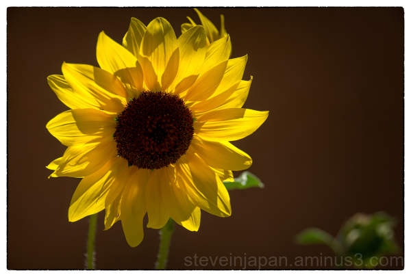 A sunflower in Taos, New Mexico.