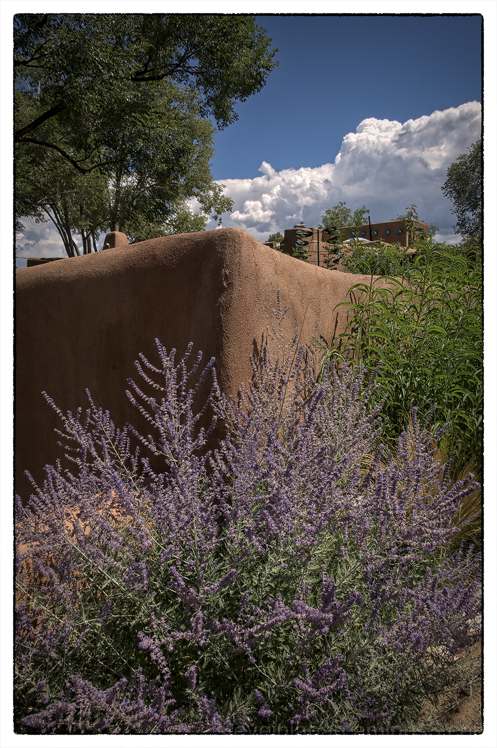 Lavender & wall in Taos, New Mexico.