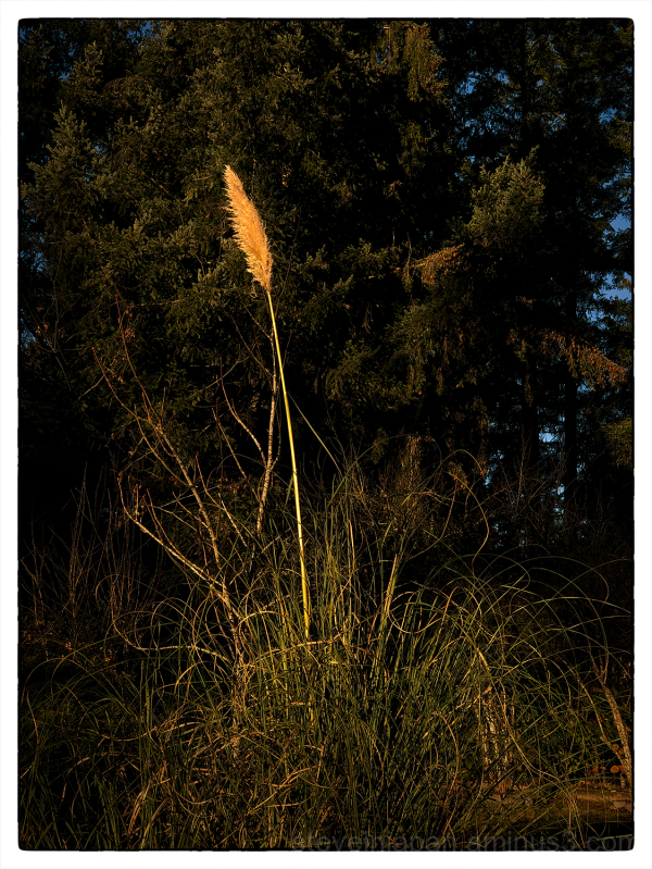 Pampas grass, in warm light, seen on the street.
