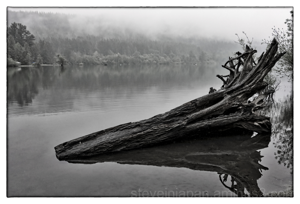 An old tree in Rattlesnake Lake.