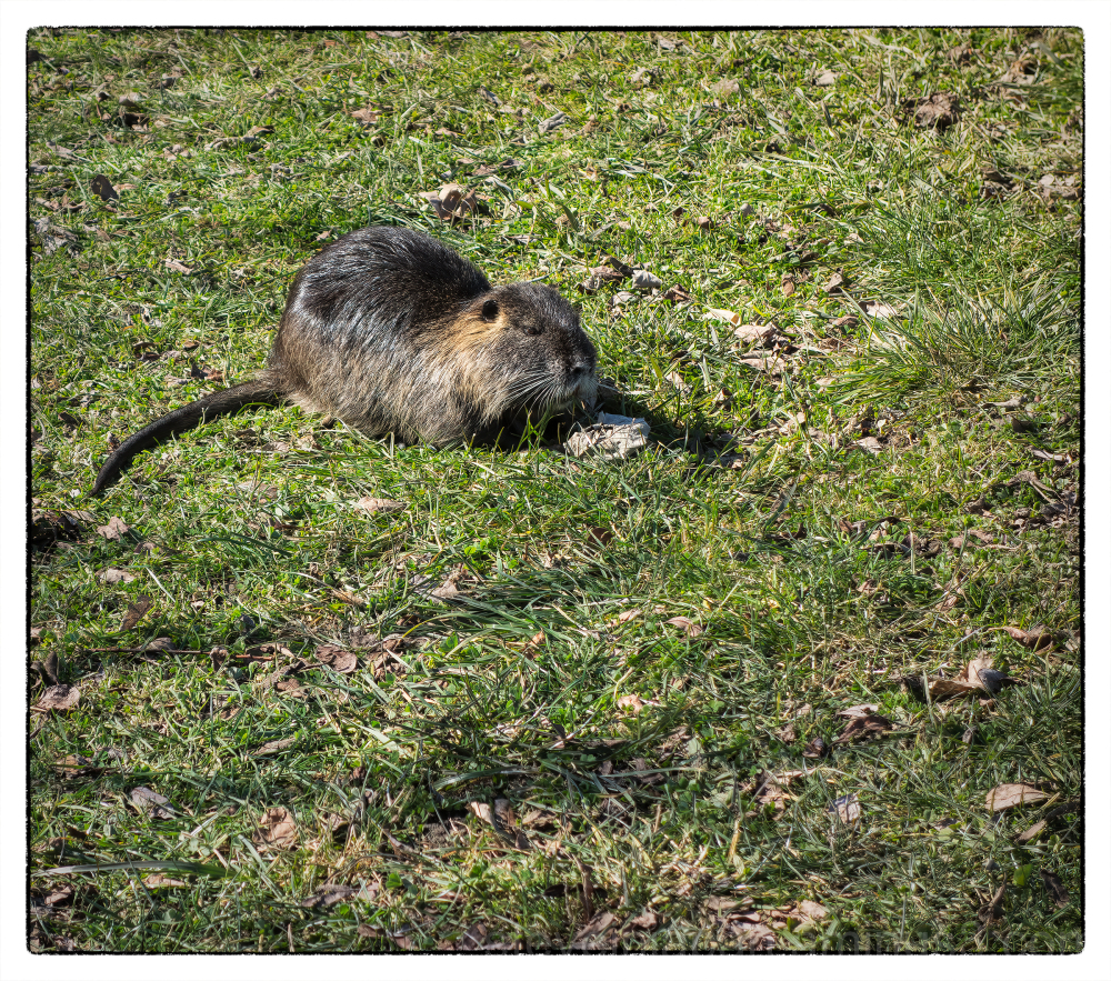 A muskrat at Capitol Lake in Olympia, WA.