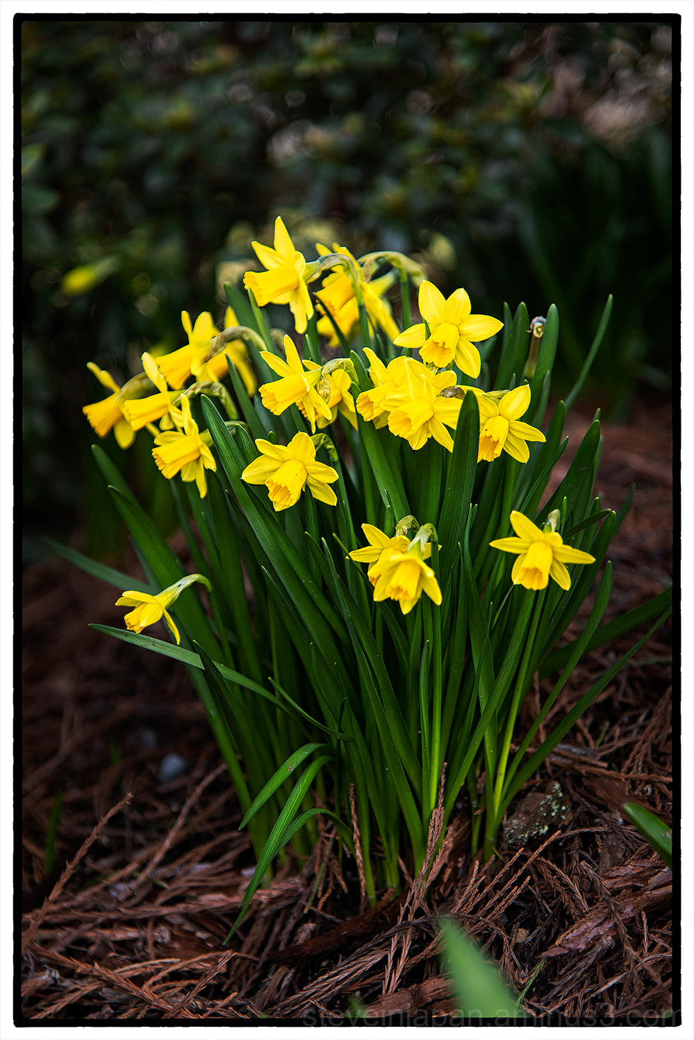 Dwarf Daffodils under a tree.