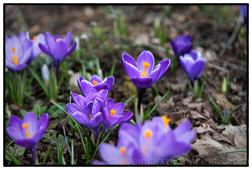 Crocus in bloom.