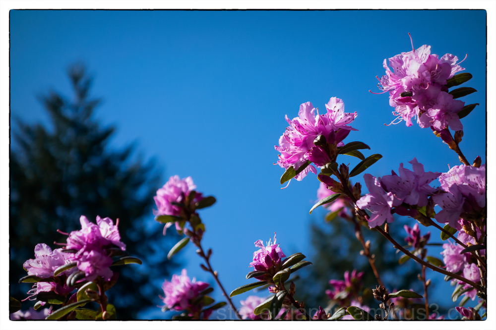 Azaleas seen on a walk.