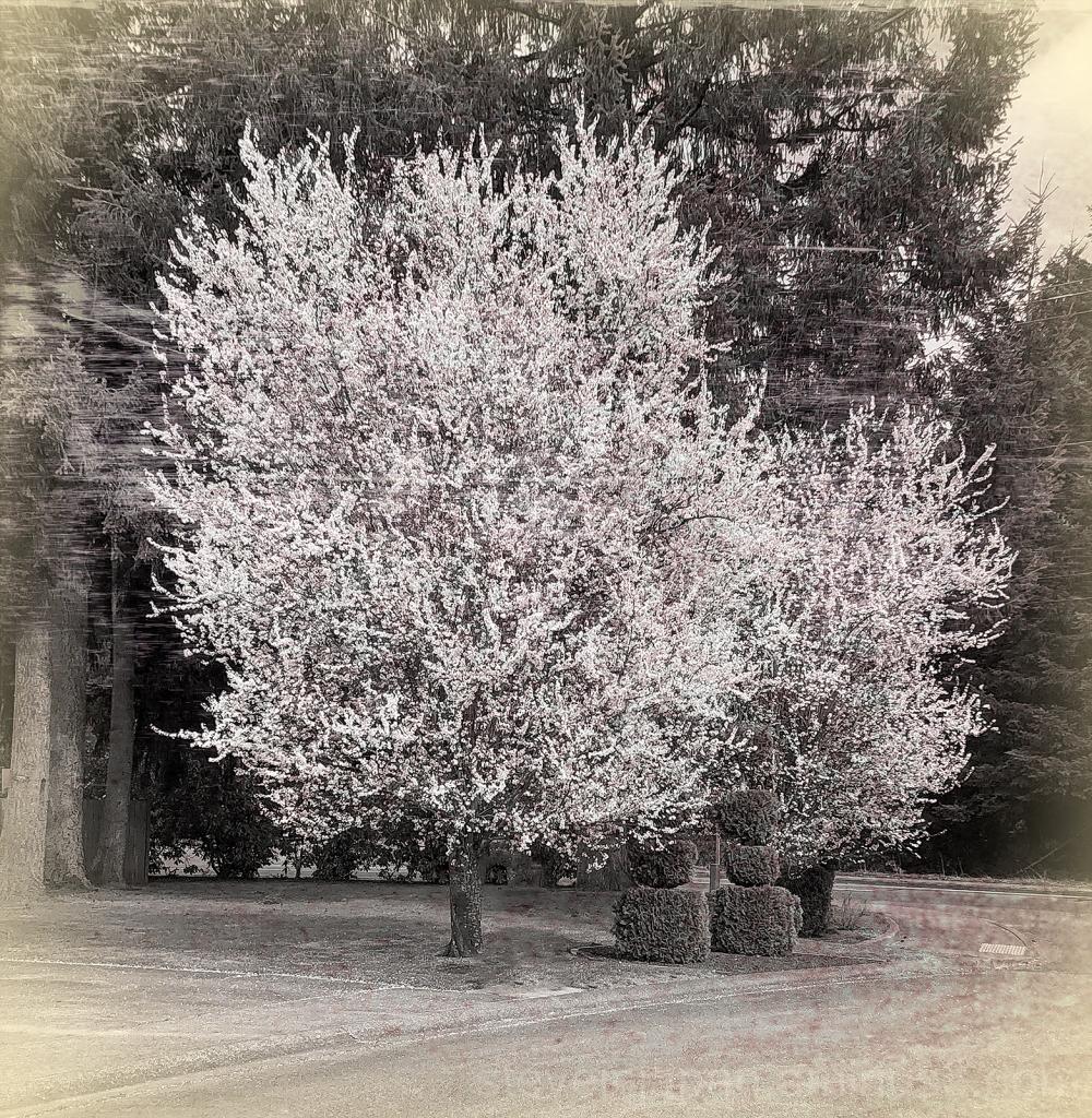 Trees, in bloom, seen on a walk.