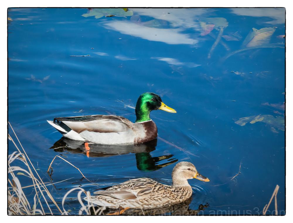 A pair of swimming Mallards.