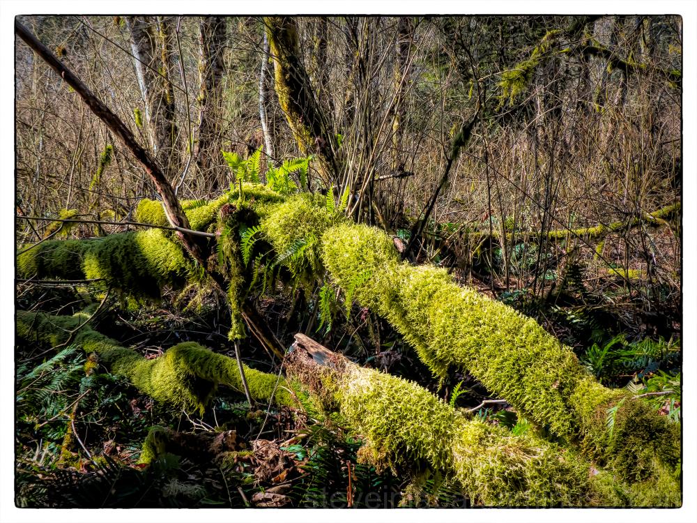 A mossy trail at McLane Creek.
