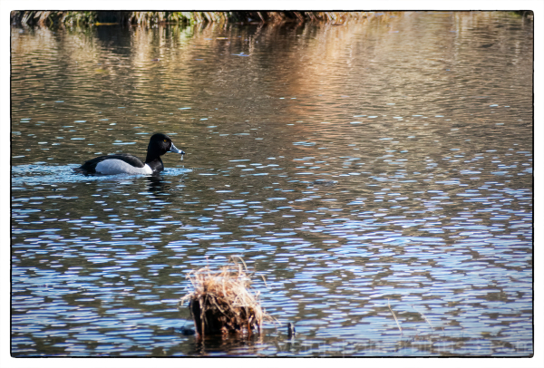 A Ring-necked Duck at McLane Creek.
