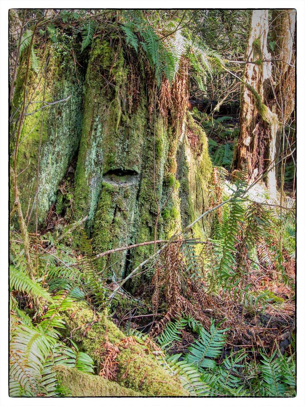 An old stump at McLane Creek.