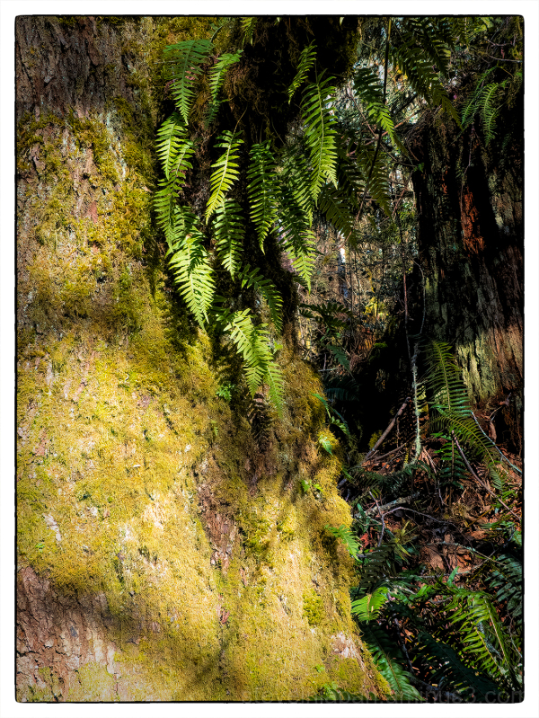 A mossy trail at McLane Creek.