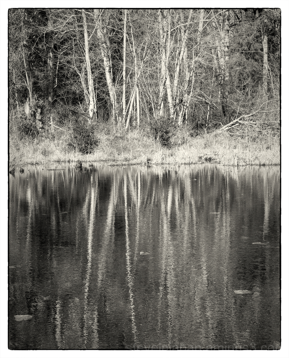 Alder reflectionsl at McLane Creek.