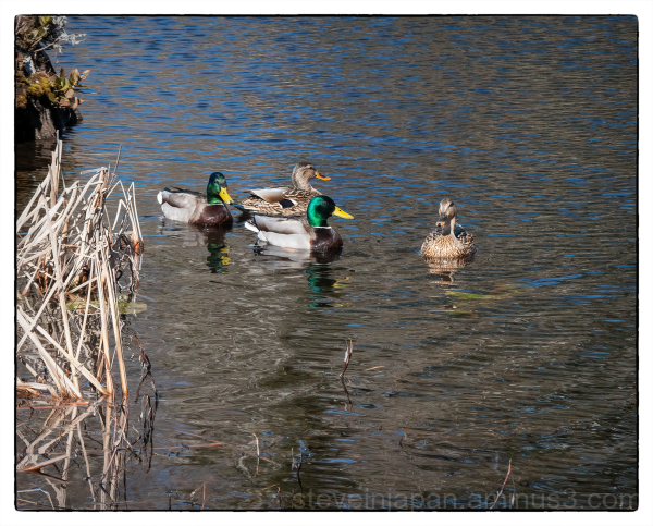 Mallards at McLane Creek.