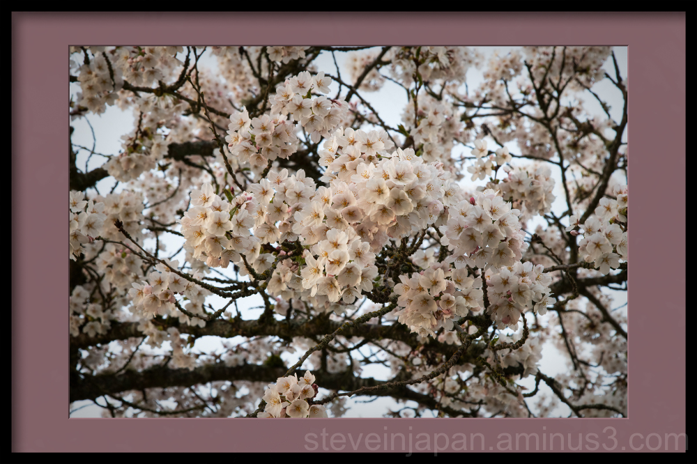 Sakura at Capitol Lake in Olympia, WA.