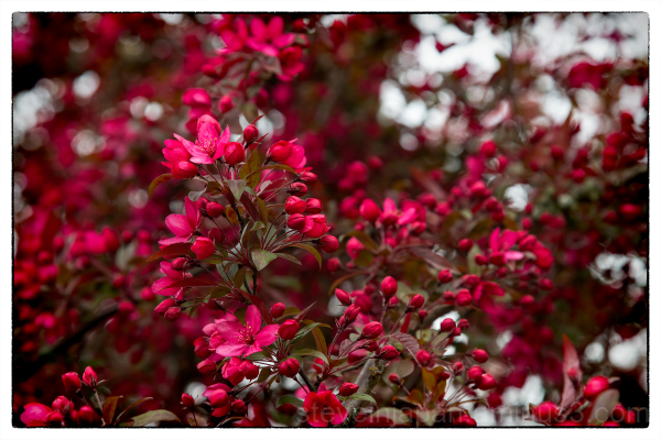 Flowering Crabapple at the WA Capitol Campus.
