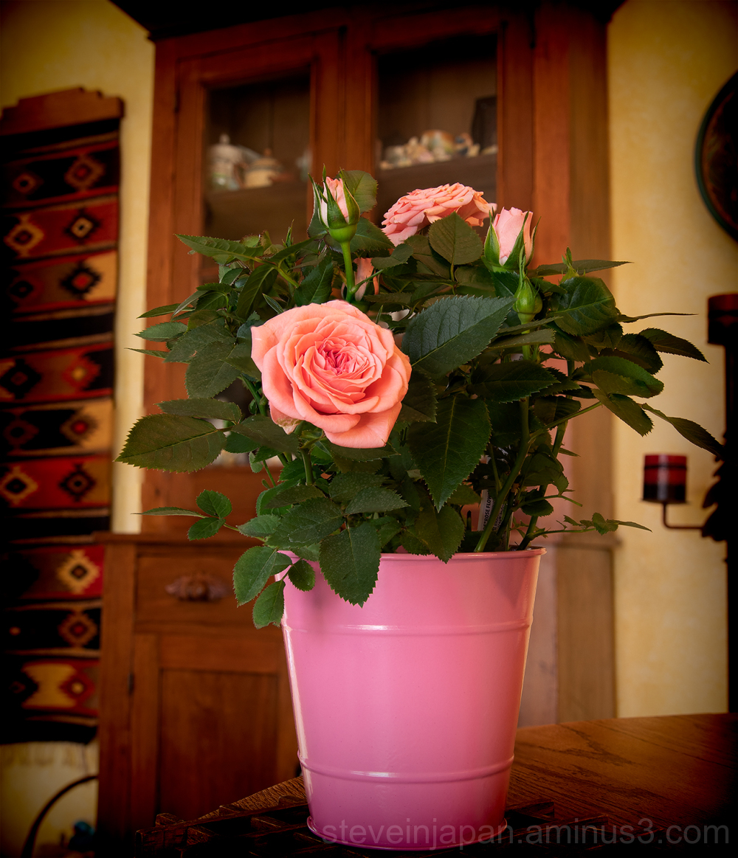 A rose focus stack of 15 frames.