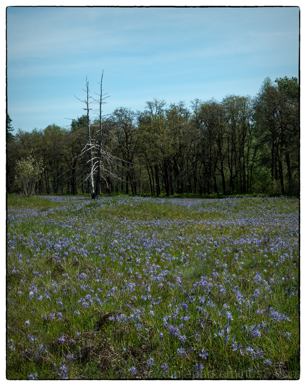 Common Camas on the prairie.