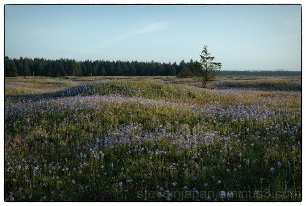 Common Camas on the prairie.