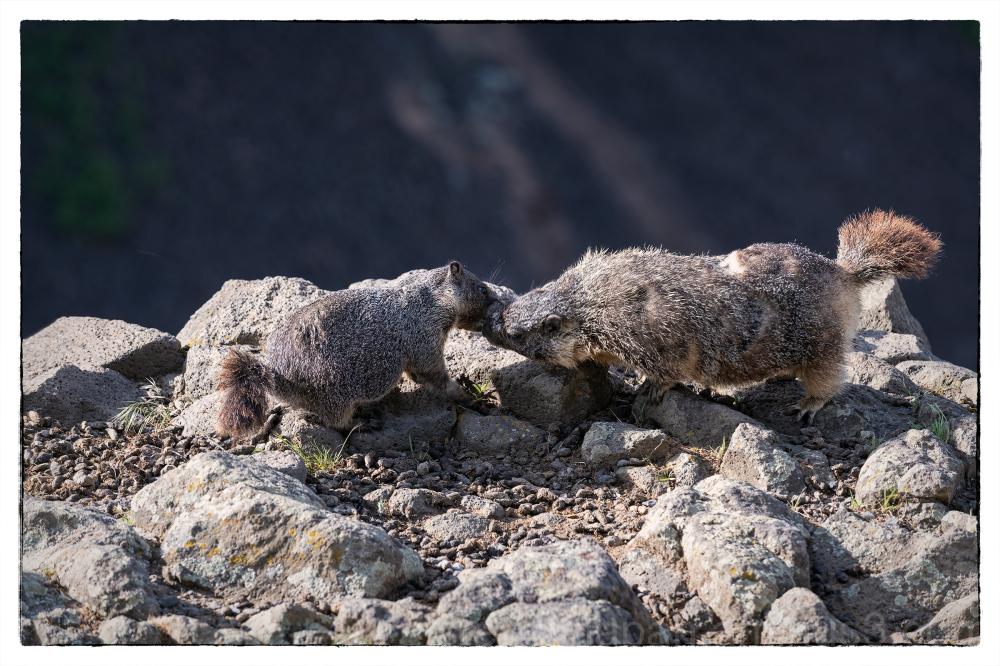 Marmots at Palouse Falls.