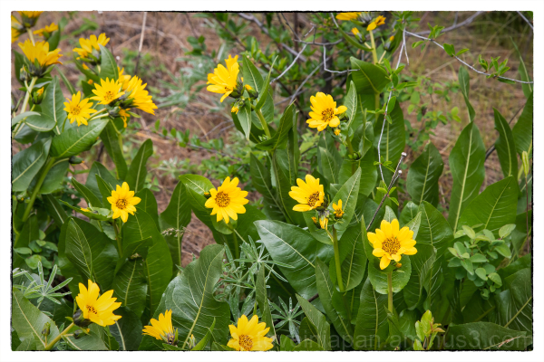 A Balsamroot on Kamiak Butte in the Palouse.