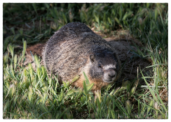 A Marmot at Palouse Falls.