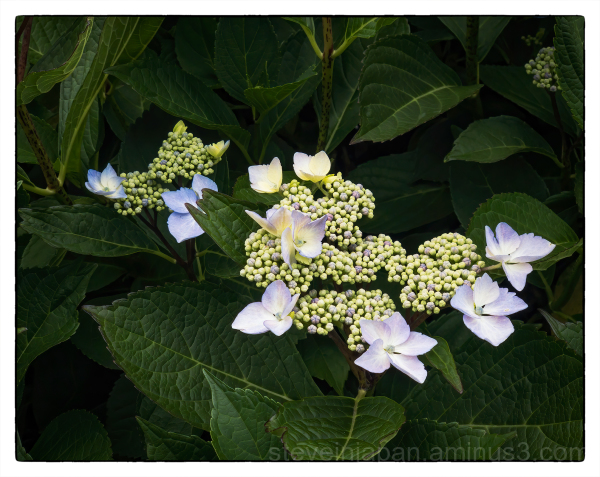 A hydrangea on my walking route.