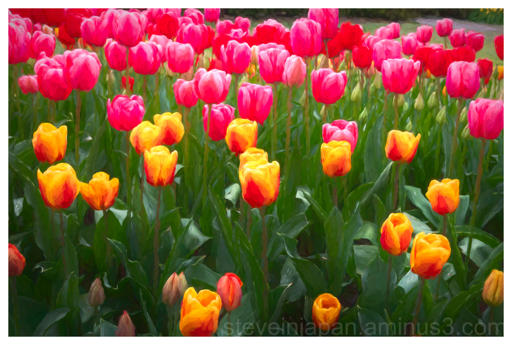 Tulips in bloom in the Skagit Valley of WA, USA.