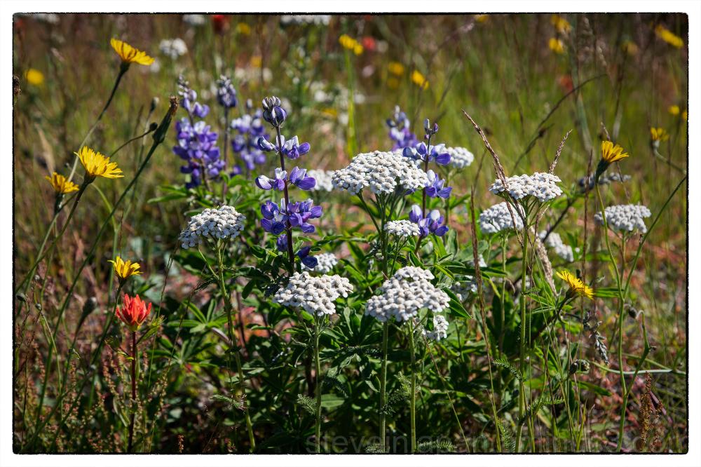 Wild flowers in the Mount Saint Helens blast zone.