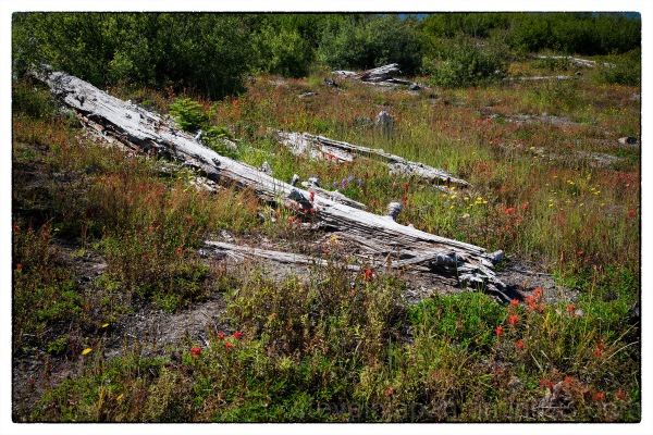 Dead trees in the Mount Saint Helens blast zone.
