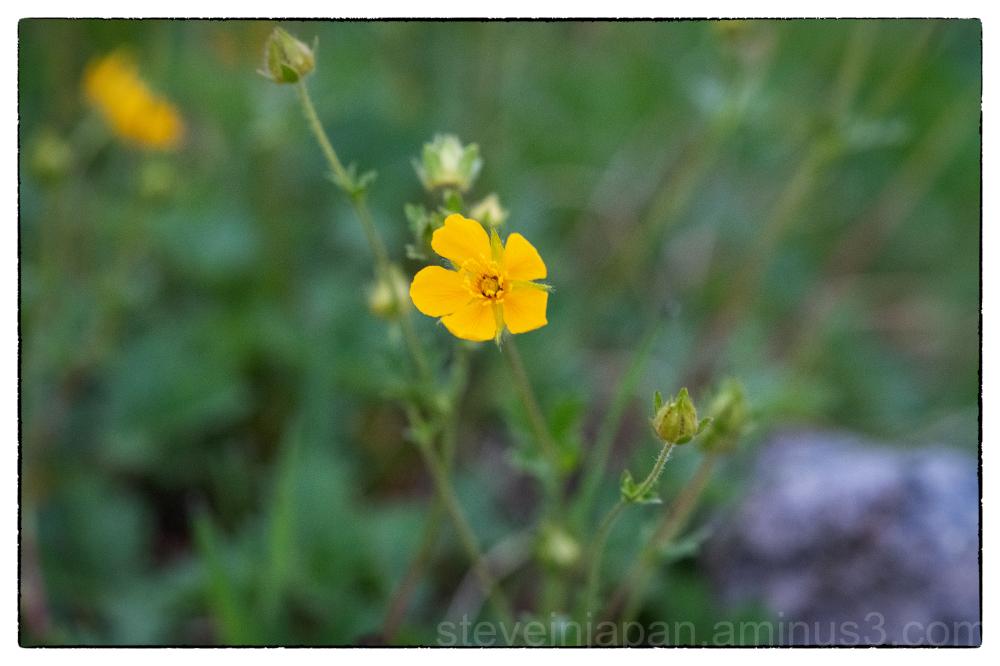 mount rainier paradise washington state wildflower