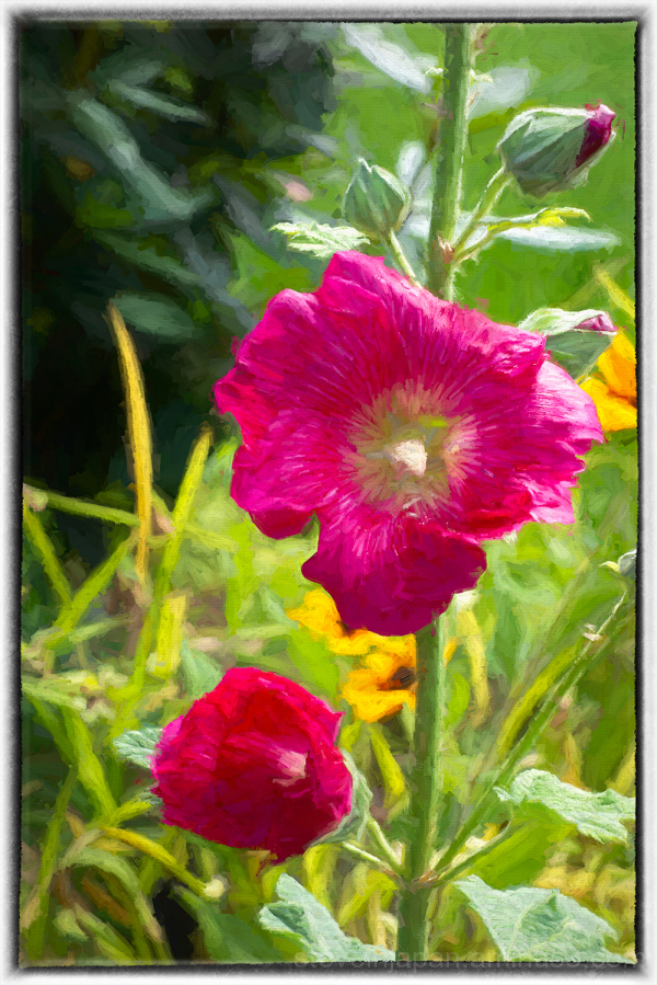 Neighbor's Hollyhock