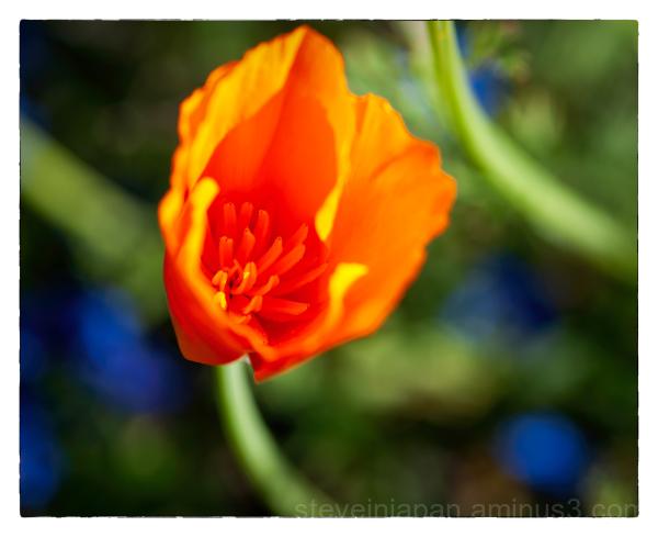 A poppy in the morning light.