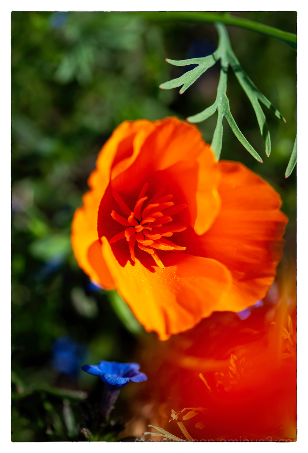 A poppy in the morning light.
