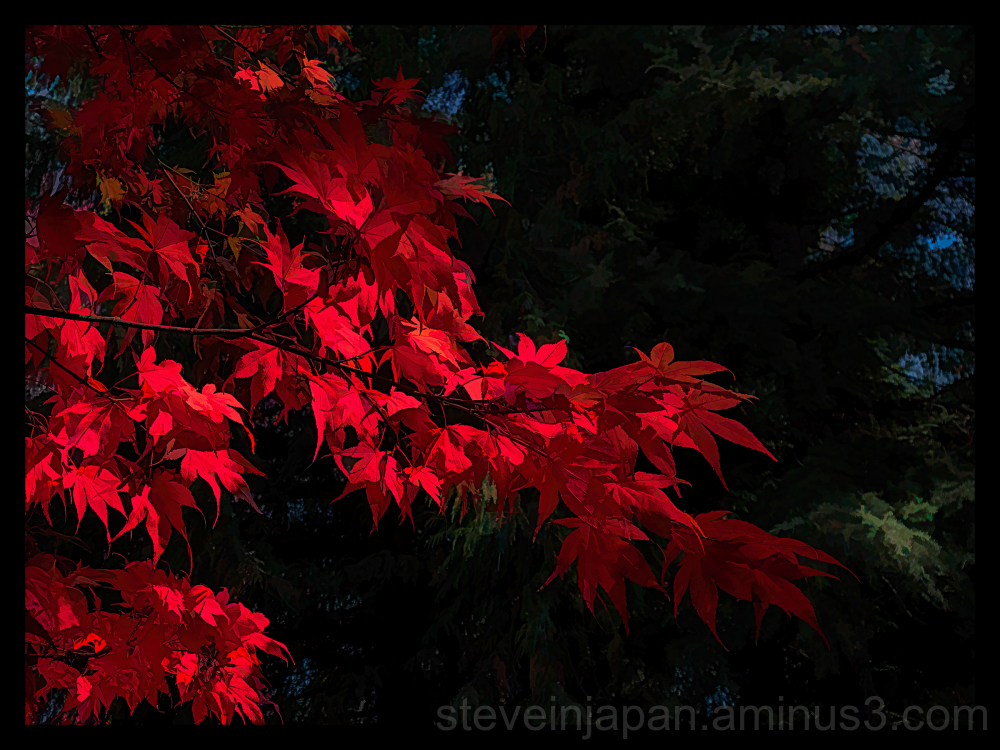 Maple leaves n Olympia, Washington.