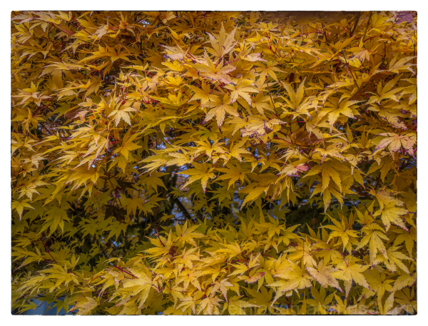 Sango Kaku leaves in autumn.