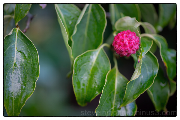 The fruit of the Dogwood tree.
