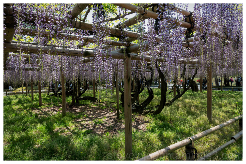 Wisteria at Byōdō-in Temple in Japan.