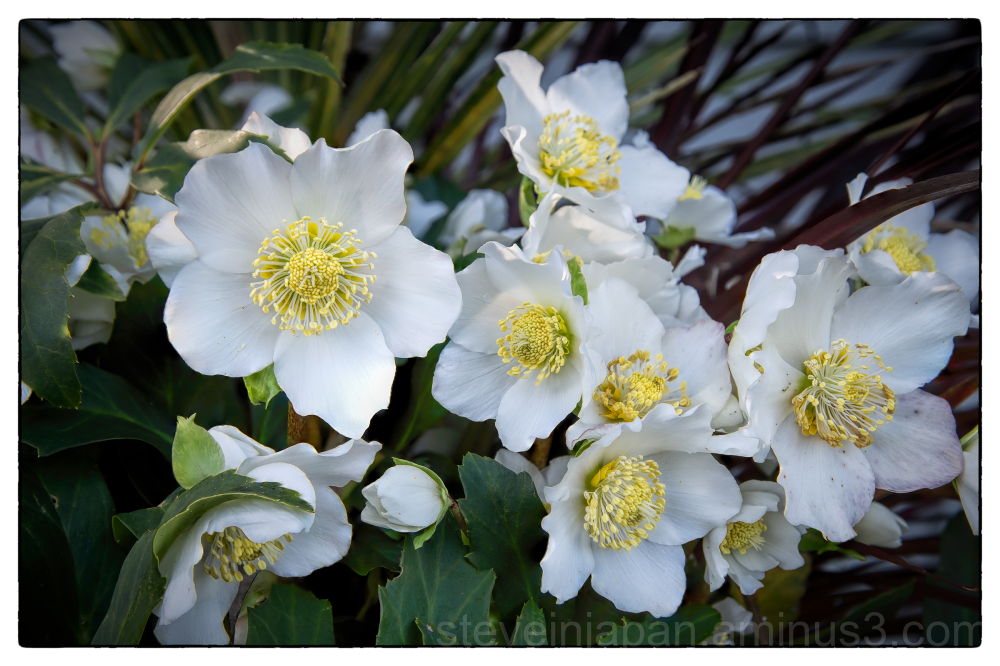 Hellebores blooming in winter.
