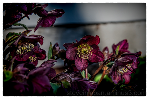 Red Hellebores blooming in winter.